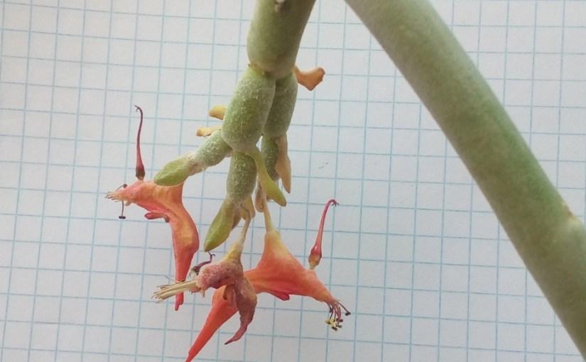 Pedilanthus macrocarpus: candelilla, sapado del diablo
