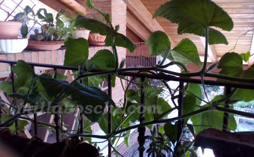 Piante parasole: tende verdi con piante annuali