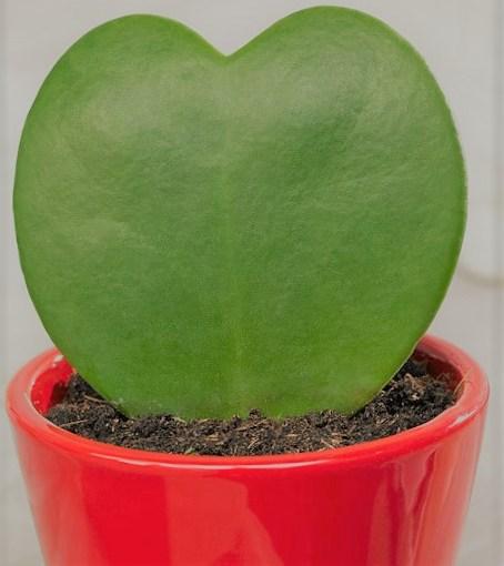 Hoya kerrii: la pianta degli innamorati (ohibò)
