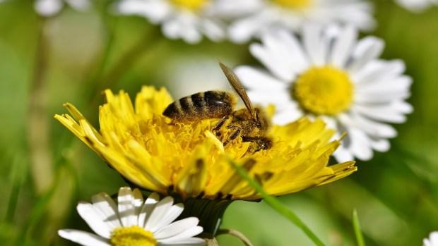 Si desaparecen las abejas desapareceria tambien el cafe las manzanas los tomates y el cacao1920