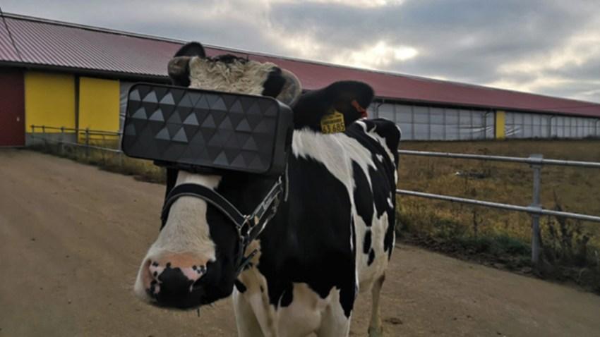 Las gafas de realidad virtual que hacen creer a las vacas que estan en un prado verde y soleado1920