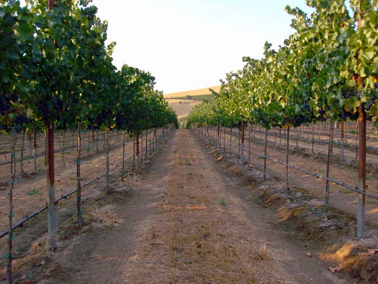 Pebble Ridge Vineyards