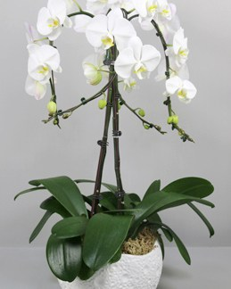 Phalaenopsis blanche 4 tiges A