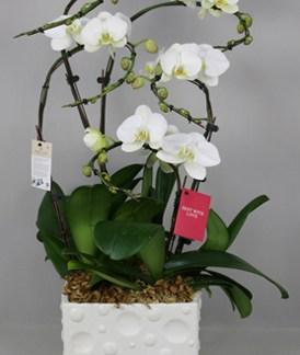 Phalaenopsis blanche 5 tiges