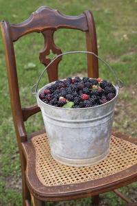 Blackberries in Bucket
