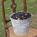 Blackberries in Bucket