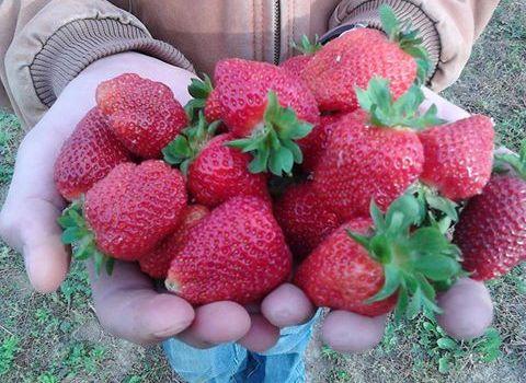 16 more weeks til Strawberry Season!