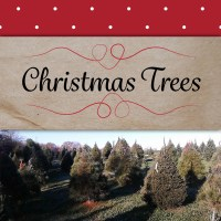 christmasTrees-inThePatch