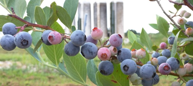 BLUEBERRIES ARE RIPE AND THE PATCH IS OPEN!