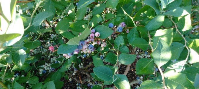 Pick Your Own Blueberries….Starting Thursday July 20.