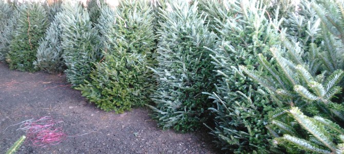 Fraser Firs are here! Fresh Cut!  5ft-12ft Tall!  Plenty of Eggnog too!