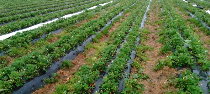 Strawberry news….Good and Bad.