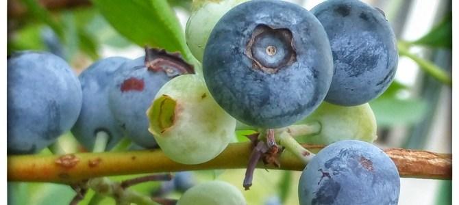 Blueberries, Blueberries, Blueberries!  Pick your own!