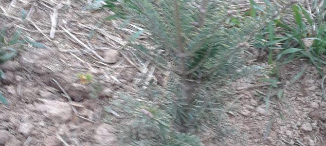 Planting Christmas Tree Seedlings