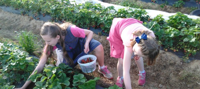 Pick Strawberries today at Miller Farms!