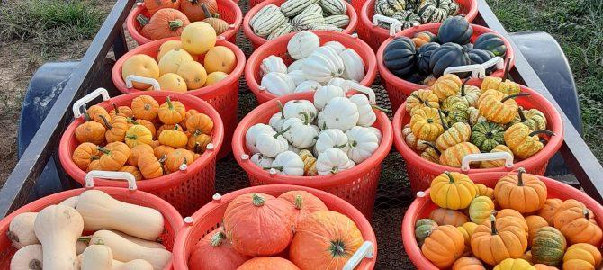 Winter Squash and Mini Pumpkins!