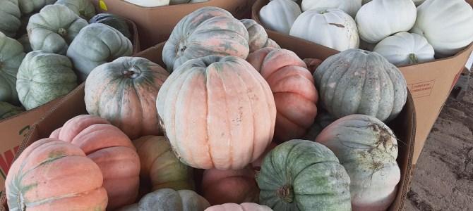 Pumpkins!  Still picking Sweet Corn!