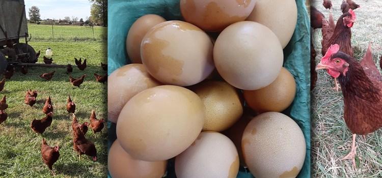 Fresh Eggs from Miller Farms
