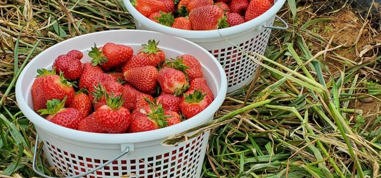 Strawberry Update for Thursday May 21.  Patch opens at 9am