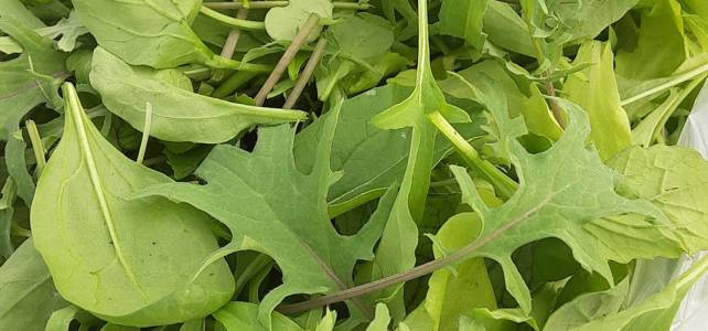 Mesclun Mix, just harvested!  Come on by and grab a taste of Spring!