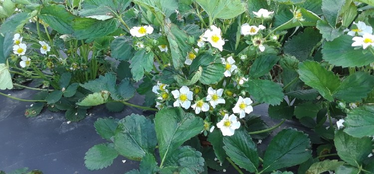 Strawberry Patch Progress Update for this Week.
