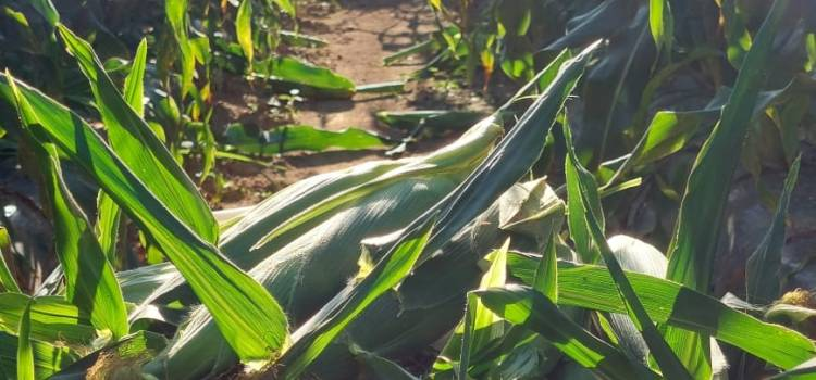 SWEET CORN, FRESH PICKED! Waiting for you at the farm! And …….