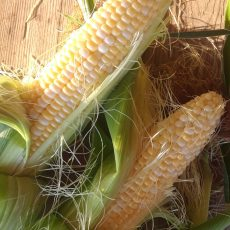 SWEET CORN TOMORROW, FRIDAY JUNE 25!  We will pick the first sweet corn of the 2021 Season tomorrow.  Come and Get it!  We will be ready for you!  Summer is HERE!