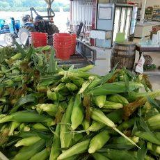 Wednesday at Miller Farms:  Corn, Tomatoes, Lemonade, U-Pick Blackberries