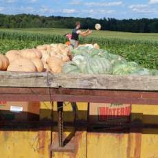 Lots of cool pumpkins, gourds, and mini pumpkins coming in out of the field. Fall Harvest is here! Plenty of APPLES and PEACHES too! These are the LAST peaches of the season! And PLENTY of SWEET CORN! Remember to reserve your pasture raised Turkey for Thanksgiving!