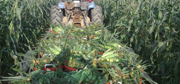 Sweet Corn, Nice Fresh Sweet Corn! We pick FRESH every day so YOU can have Fresh Corn! Plenty of SWEET CORN picked! And we are picking more! We will have plenty today, Saturday, and Monday. On Labor Day Monday, we will be OPEN 9am-1pm. We will be closing at 1pm on Labor Day.