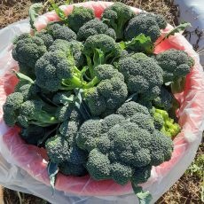 BROCCOLI!  JUST HARVESTED A COUPLE HUNDRED LBS OF BROCCOLI.  It's not as exciting as sweet corn, but broccoli fresh from the field has great flavor.  See ya tomorrow!
