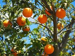 florida orange tree - millerstreecare.com