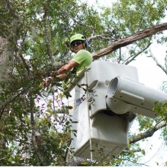 Tree Worker in Bucket Trimming a Tree