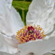 Parc Floral - Pivoine