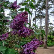Parc Floral - Lilas