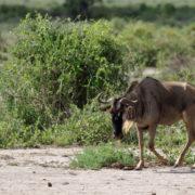 Parc Amboseli, Gnou
