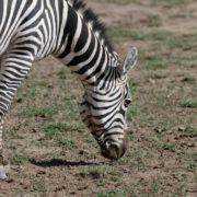 Parc Amboseli, Zèbre de Burchell