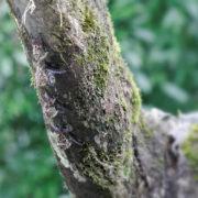 Rhynchonycteris naso