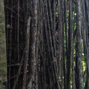 Ficus étrangleur sur un pilon