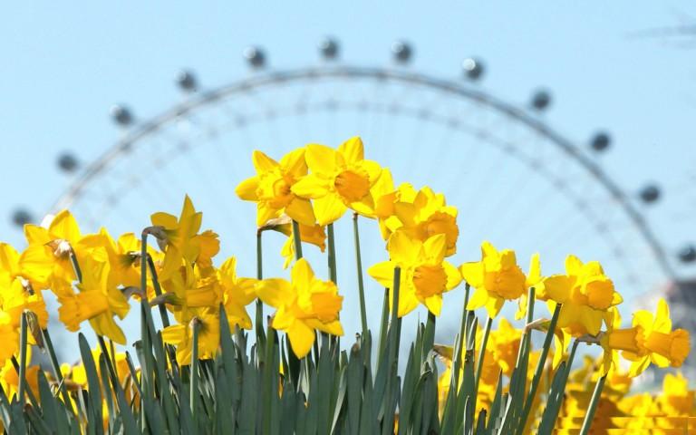 Daffodils blooming in London