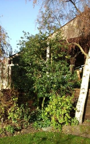 Yellow-berried holly tree in garden (Ilex aquiforum Bacciflava).