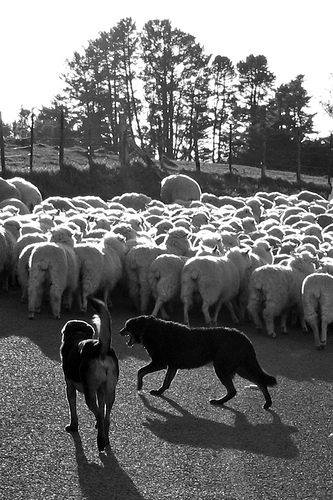 dogs-herding-sheep