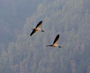 Black Neck Cranes, Gangtey, Bhutan