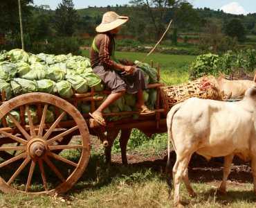 Cheroot Trail, Burma