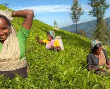 Tea Pickers, Sri Lanka, Hill Country