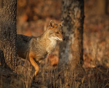 Jackal, Pench National Park, India