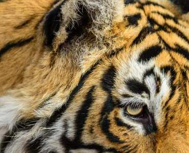 Royal Bengal Tiger, India Ranthambore