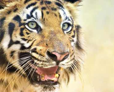 Royal Bengal Tiger, India Wildlife