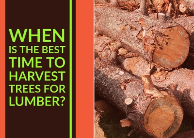 When is the Best Time to Harvest Trees for Lumber?