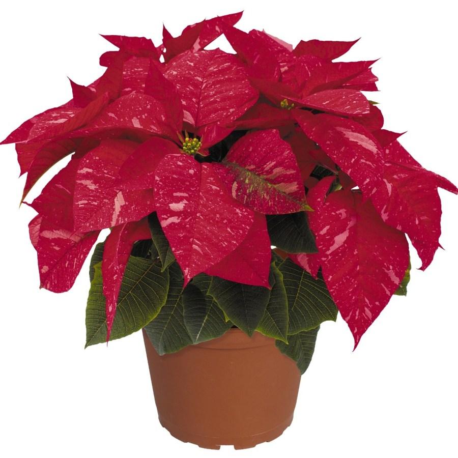 Premier Jingle Bells Image